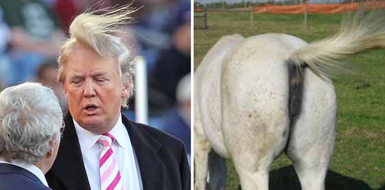 horses ass hairstyle donald trump