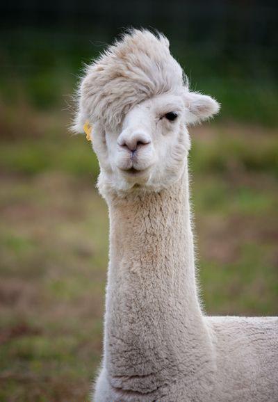 Awesome lama hairstyle